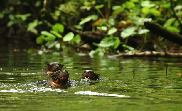 Otters Napo Wildlife Center